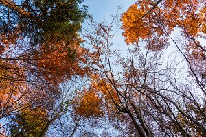 Look up in autumn forest