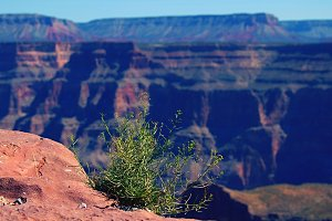 Plant in Grand Canyon