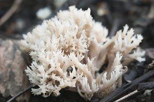 Clavulina cristata mushroom