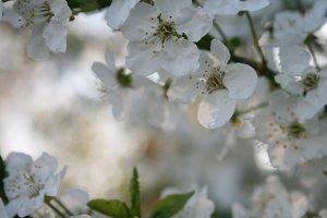 Cherry Plum #4