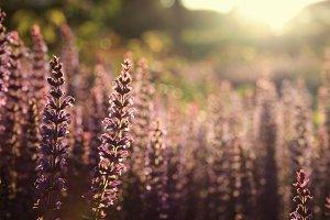 Lavender #4