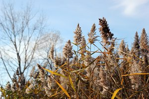 Tall grass in autumn