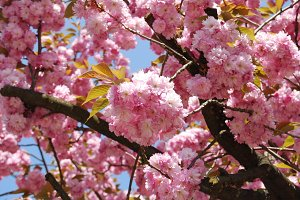 Cherry Blossom or Sakura flower on nature background