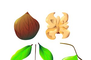 Vector botanical walnut illustration