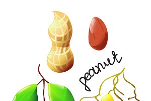 Vector illustration of bright peanut