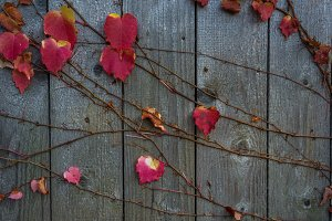 Red Ivy on wooden background
