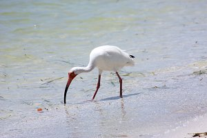 White Ibis on Florida Beach