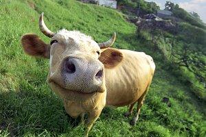 Smiling cow on arural landscape.
