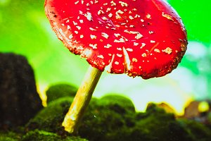 beautiful red with white spots mushroom on moss