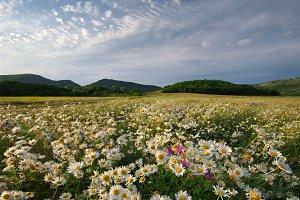 Spring daisy flowers  in meadow