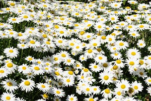 White daisy flowers in a meadow