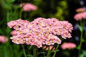 Pink Yarrow plant in bloom