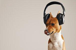 Happy basenji dog wearing headphones