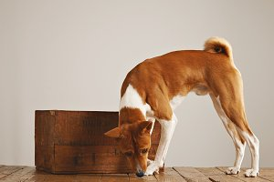 Basenji dog with a wooden wine crate