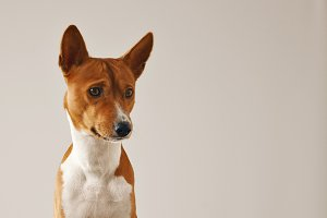 Portrait of a cute basenji dog