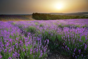 Lavender beautiful meadow