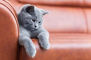 Young cute cat resting on leather sofa. The British Shorthair kitten with blue gray fur