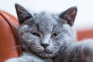 Young cute cat portrait close-up. The British Shorthair kitten with blue gray fur
