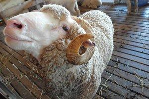 Sheep close up in a farm