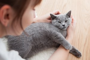 Woman stroke her car. The British Shorthair pedigreed kitten