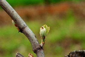 Macro of Bud Break on a grape vine