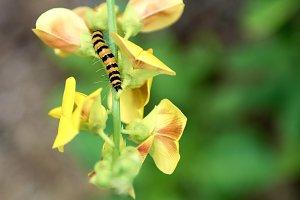 Caterpillar on Tropical Flowers