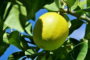 lemon on branch