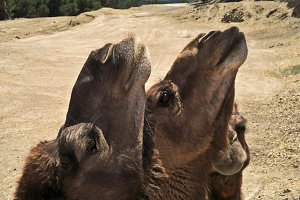 Two camels close-up