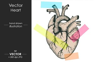 Realistic anatomical vector heart