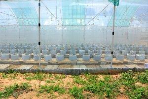Nursery water melon