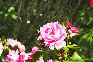 roses on a green meadow, background, selective focus