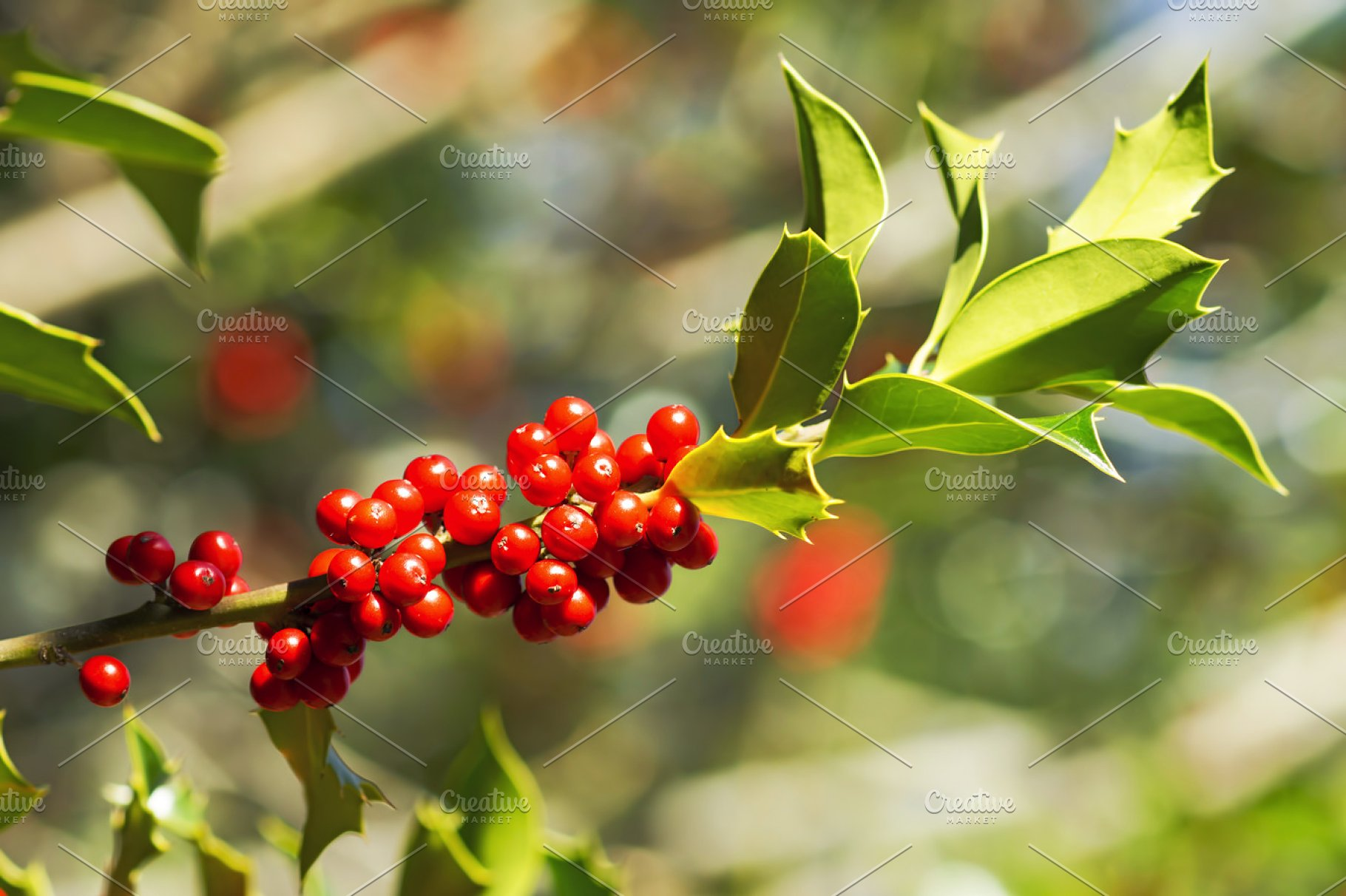 Holly Tree With Red Berries High Quality Holiday Stock Photos