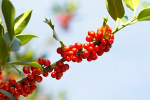 holly tree with red berries