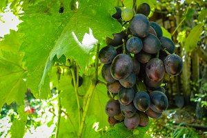 Bunch of sweet black grapes on vine