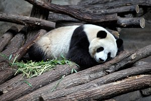 Adorable panda resting on woods