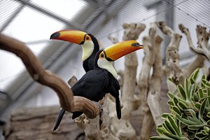 Two toucans sitting on a branch
