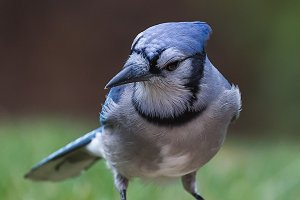 Eye of the Blue Jay