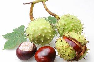 chestnut on a white background