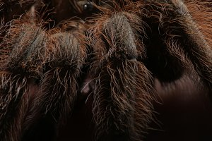 Tarantula spider, macro photography