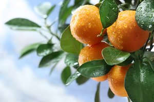 Ripe tangerines on a tree branch. Blue sky on the background.