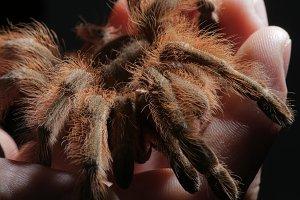 Tarantula spider in hand, macro