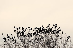 Ravens on the tree branches