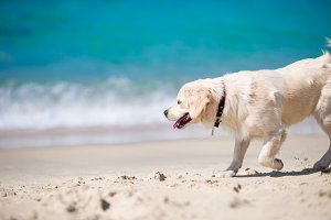 Beautiful golden retriever playing in waves of the sea at a sunny day