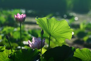 Lotus Leaf and Pink Flower