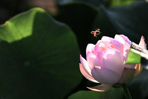 Honey Bee and Lotus Flower