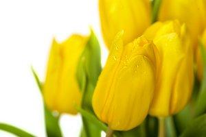 Yellow tulip flowers