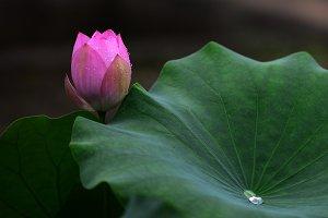 Lotus Flowers and Lotus Leaf