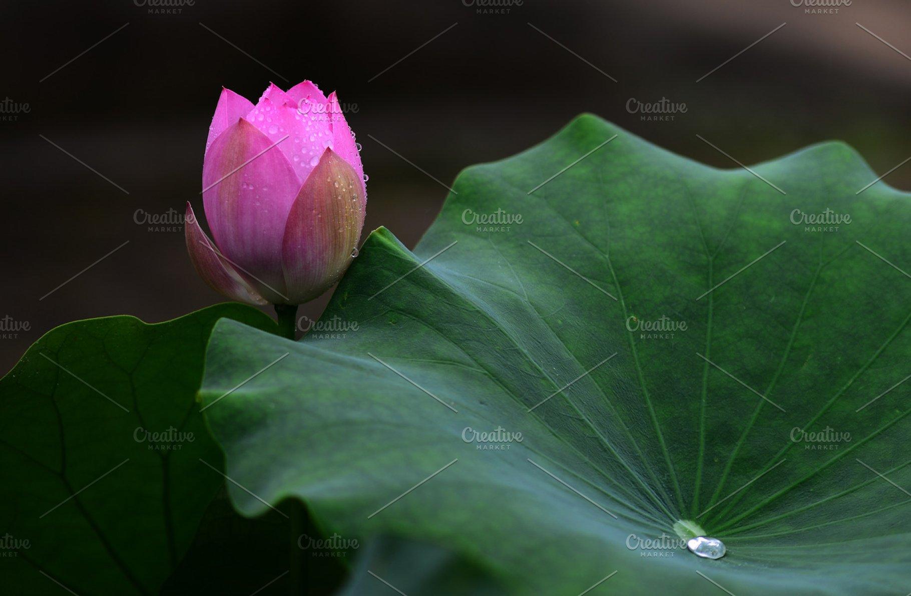 Lotus Flowers And Lotus Leaf Nature Photos Creative Market
