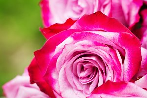 Pink fresh roses on wooden background