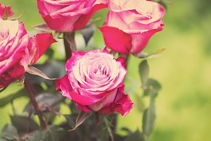 Perfect pink rose flower on wood outdoors